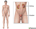 Male urinary system