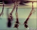 Mosquito - larvae