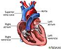 Heart chambers