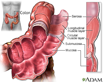 Structure of the colon