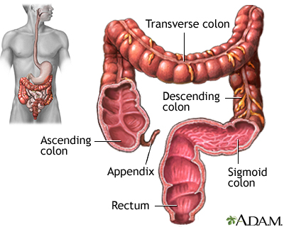 Large intestine (colon)